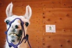 Funny Llama. A hilarious looking llama at a Midwestern county fair royalty free stock photography