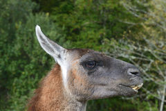Funny llama Royalty Free Stock Photography