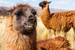 Funny llama smiling Stock Photography