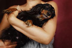 Funny longhaire dachshund sitting on their hands Stock Photo