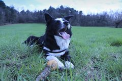 Funny look of a border collie with tongue out royalty free stock photos