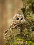 Funny look on brown owl - Strix aluco. Strix aluco - funny look on young tawny owl stock photo