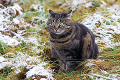 Funny look of a fat cat Stock Image