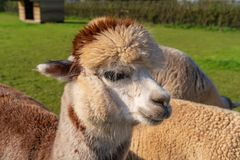 Funny looking alpacas at farm stock photo