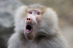 Funny looking baboon. Cute and funny looking baboon monkey royalty free stock image