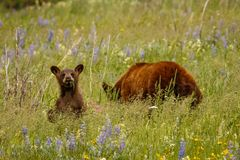 Funny looking bear cub in purple flowered meadow in Waterton Lakes NP. Canadian dream, canada wildlife experience, beauty of nature stock photography