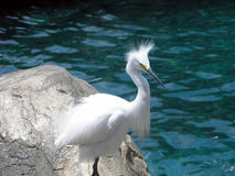 Funny-Looking Bird. This funny looking egret has a bad hair day stock image