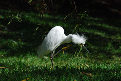 Funny looking bird - egret Stock Image