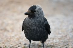 Funny looking black and gray Jackdaw bird. Standing on the ground looking kind of cocky Stock Photos
