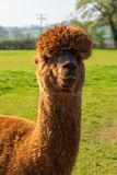 Funny looking brown alpaca at farm stock images
