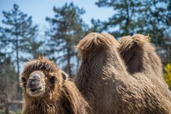 Funny looking camel. In the wild Royalty Free Stock Image