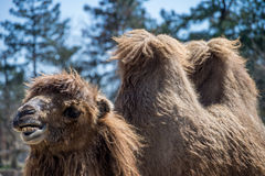 Funny looking camel. In the woods Royalty Free Stock Photos