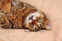Funny looking cat lying on a blanket Stock Photo