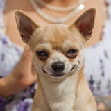 Funny looking chihuahua dog Royalty Free Stock Images
