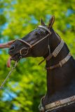 Funny looking dark brown akhal teke stallion. With silver show halter on standing in front of a green tree, sunny spring day sticking out its pink tongue, a stock photography