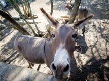 Funny looking donkey Stock Image