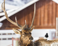 Funny looking Elk with Magpie passenger. Stock Images