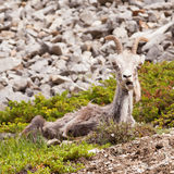 Funny looking female Stone Sheep Ovis dalli stonei Stock Photos