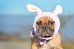 Funny looking French Bulldog female dog dressed up with easter bunny costume headband and bowtie stock image