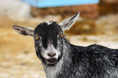 Funny looking goat Stock Photography