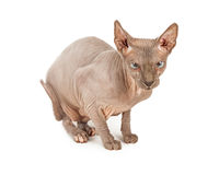 Funny Looking Hairless Sphynx Cat Stock Photo