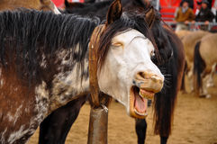 Funny Looking Horse. A funny looking horse that appears to be laughing Royalty Free Stock Photography