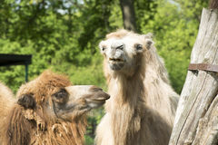 Funny looking Lamas Stock Image