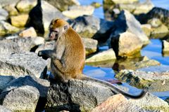 Funny looking long-tailed macaque royalty free stock photo