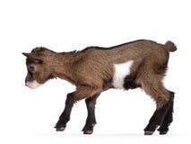 Baby goat on white background