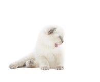 Funny lop-eared British kitten Stock Photo