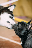 Funny Lovely Dogs - Alaskan Malamute And French Bulldog Dogs To Kiss Each Other. Two Funny Lovely Dogs - Alaskan Malamute And French Bulldog Dogs To Kiss Each Royalty Free Stock Image