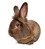 Funny lying chocolate colored lionhead rabbit. Isolated on white background stock photography
