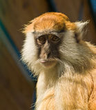 Funny Macaque monkey Stock Image