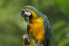 Funny Macaw. A rain-drenched macaw with a funny pose Stock Image