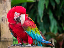 Funny macaw Stock Photography