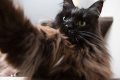 Funny main coon cat doing selfie. Funny brown main coon cat doing selfie Stock Image