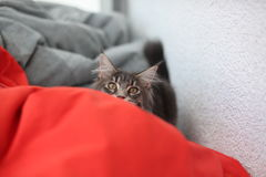 Funny Maine coon blue cat sitting on a red sofa Stock Image
