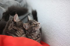Funny Maine coon blue cats sitting on a red sofa Royalty Free Stock Photography