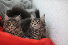 Funny Maine coon blue cats sitting on a red sofa Royalty Free Stock Photo
