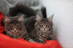 Funny Maine coon blue cats sitting on a red sofa Stock Photo