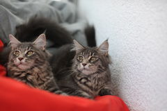 Funny Maine coon blue cats sitting on a red sofa Royalty Free Stock Photos