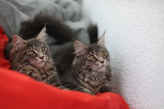 Funny Maine coon blue cats sitting on a red sofa Royalty Free Stock Image