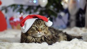 Funny laizy Maine Coon cat as Santa Claus wears christmas cap sits by beautiful new year decorated fir-tree. stock photos