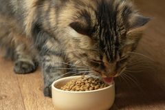 Funny Maine Coon Cat licking food in bowl Close-up stock photography