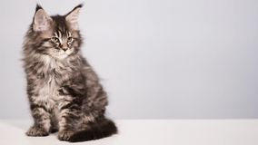 Funny kitten on gray background. Funny maine coon cat licks and washes his face at home. Adorable tabby kitten 2 months old close up. Beautiful kitty washes stock video