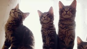 Funny Maine coon cats move their heads back and forth trough the sun. 1920x1080 stock footage