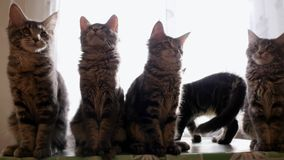 Funny Maine coon cats move their heads back and forth trough the sun. 1920x1080 stock video