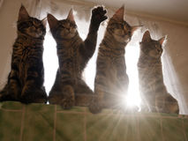 Funny Maine coon cats trough the sun. Stock Photo