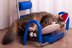 Funny Maine Coon Sleeping Royalty Free Stock Image