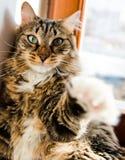 Funny cat pull the arm forward Stock Photo